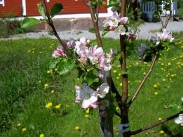 Äppelblom i Granbomsstugans trädgård.